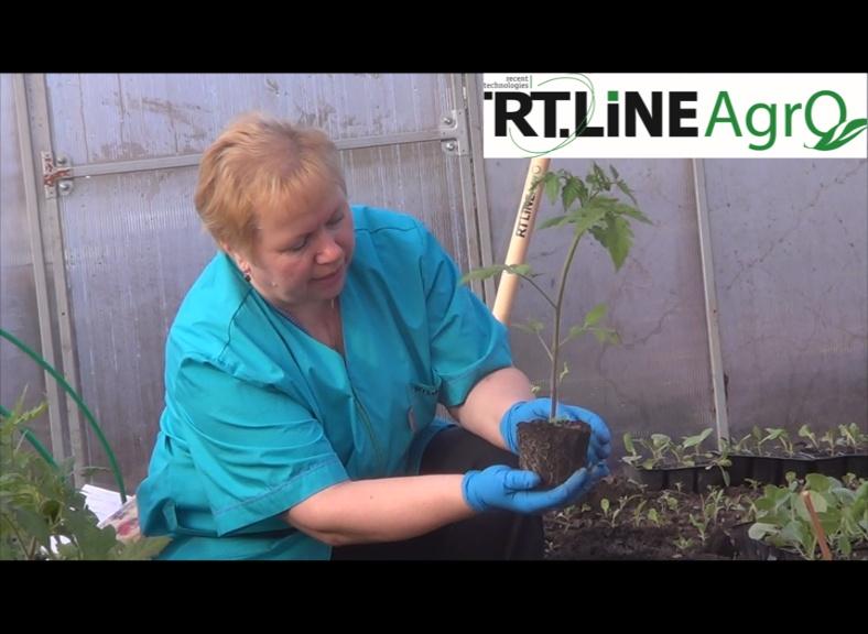 как сажать томаты в пеленки видео