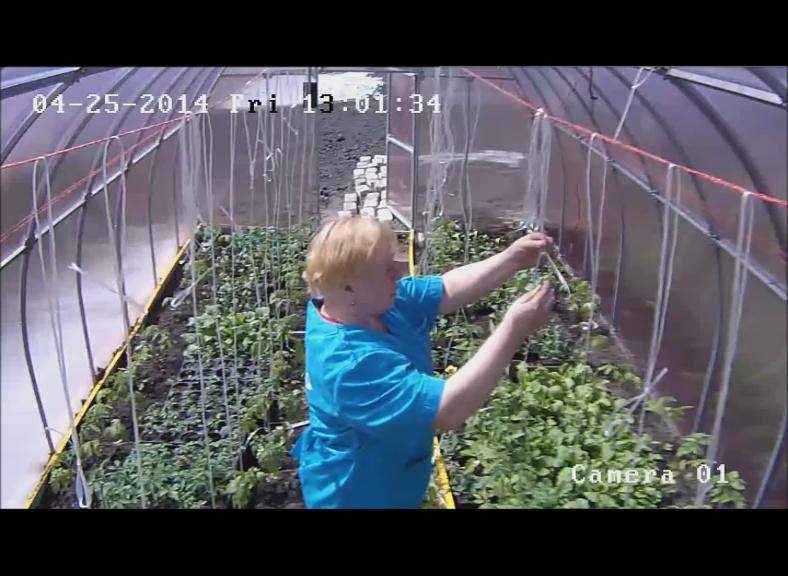 Фото как подвязывать помидоры в теплице